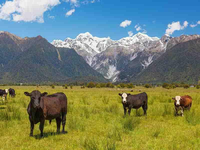 Rinder in Neuseeland