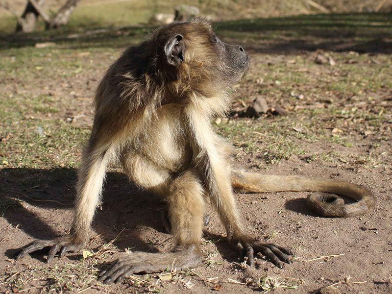 Monkey in Argentina