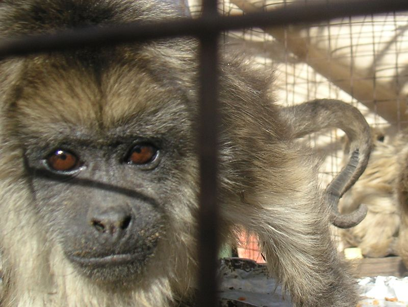 Monkeys in Argentina