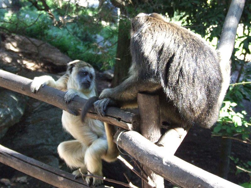 South American Monkey