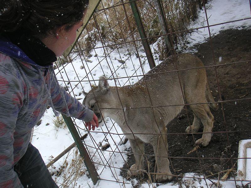 Puma im Affenpark