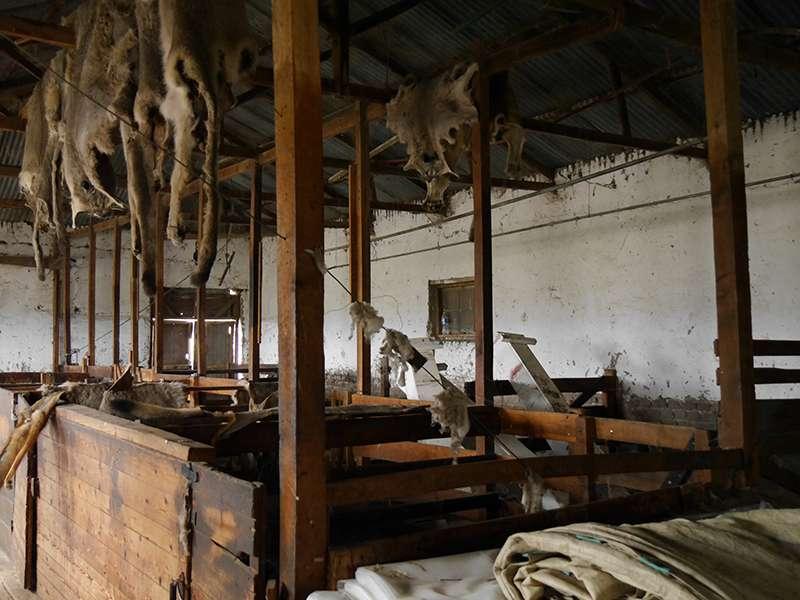 Scherplatz Schafe scheren