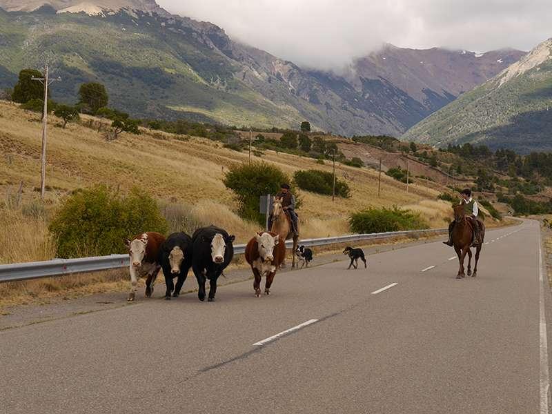 Gauchos treiben Rinder in Patagonien