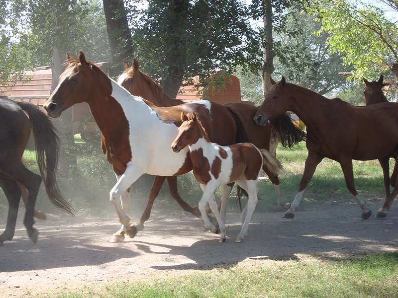 Polo Ponies in Argentina
