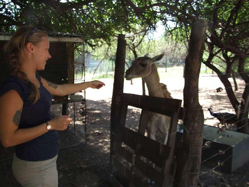 Lama füttern