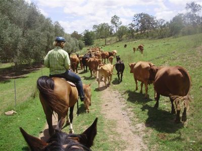 Cattle drive on horses Australia