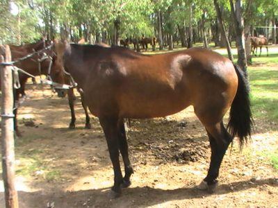 Angebundenes Pferd