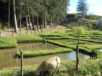 Rice fields Costa Rica
