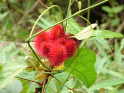 Red flower in Costa Rica