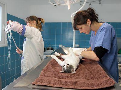 Vet operates cat