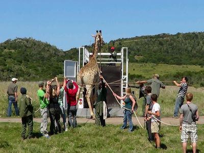 Transportation of a giraffe in South Africa