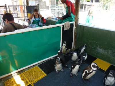 Volunteer project penguin rescue in South Africa