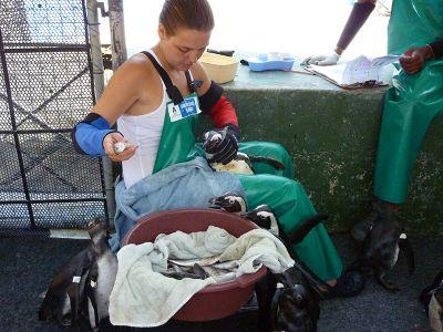 Volunteer helps feeding penguin