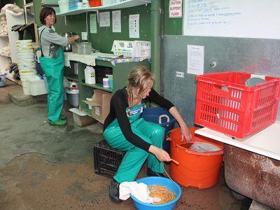 Volunteer at penguin rescue work