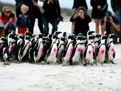Marked penguins on the way to the ocean