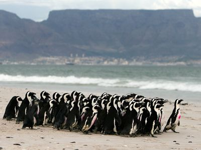 Penguin colony in front of Table Mountain