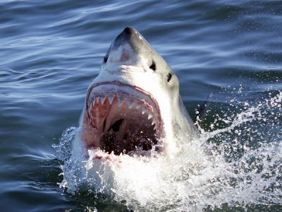 The Great White Shark South Africa