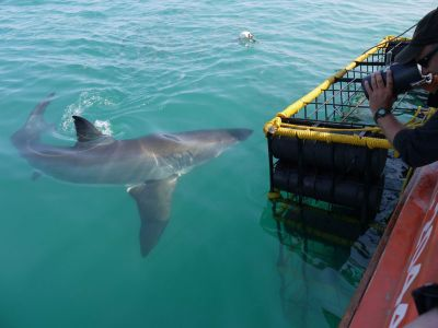 Shark at shark cage in South Africa