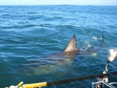 Shark flapper South Africa