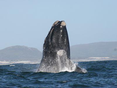 Impressive Whale South Africa coast