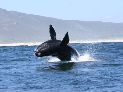 Whale jumps out of ocean