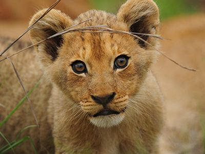 Lion baby South Africa