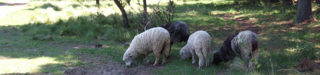 Chile Schaffarm Schafe