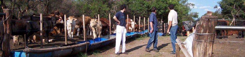 Chile Farm Feedlot Rinder