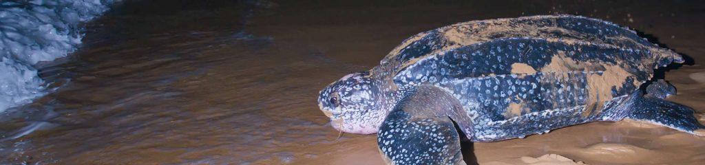 Costa Rica Mega Turtle