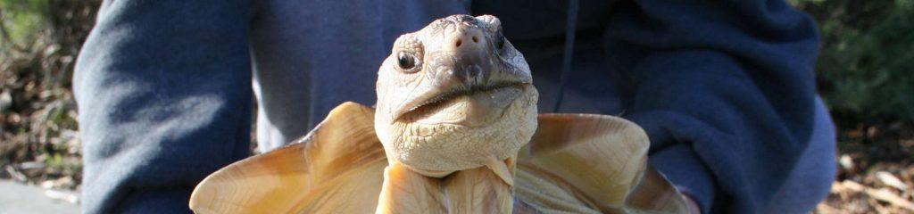 Costa Rica Meeresschildköte
