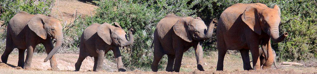 South Africa Elephants