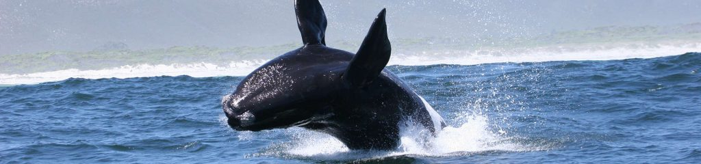 South Africa Whale Jumping