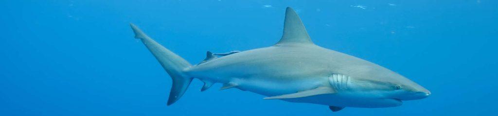 South Africa White Shark